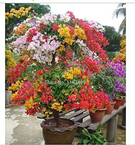 """Bougainvillea  mix colors 8 live plants 6/""""+"""