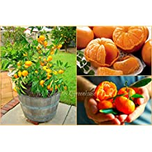 """SEEDS – Dwarf """"Ponkan"""" Chinese Mandarin (Citrus reticulate) Aromatic, Sweet Flavour. SHIPS FROM CANADA!"""