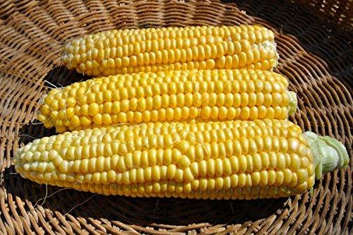 New Mama Super Sweet Corn Seeds - truly super sweet kernels!!!!!(50 - (Super Sweet Corn)