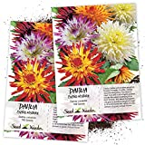 Seed Needs, Cactus Dahlia Mix (Dahlia variabilis) Twin Pack of 100 Seeds Each