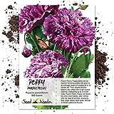 Seed Needs, Purple Peony Poppy (Papaver paeoniflorum) 500 Seeds