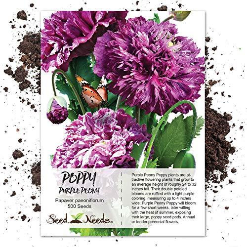 (Seed Needs, Purple Peony Poppy (Papaver paeoniflorum) 500 Seeds)