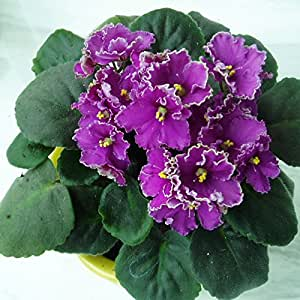 50seeds/bag All sorts of color violet seed orchard plant, perennial herb Matthiola Incana seeds