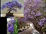 Bolusanthus Speciosus - Tree Wisteria - Rare Tropical Plant Tree Seeds
