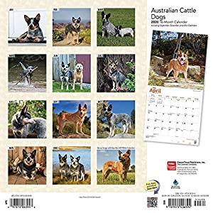 Australian Cattle Dogs 2020 12 x 12 Inch Monthly Square Wall Calendar, Animals Dog Breeds 16