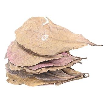 emourstm gigante Natural Catappa Leaf Betta hojas para Fish Tank Acuario mascotas, 12 piezas: Amazon.es: Productos para mascotas