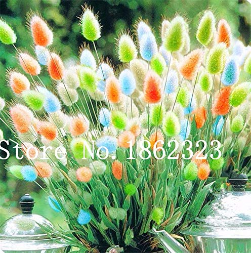 Garden Plants Grasses - 100 pcs Rabbit Tails Grass Seeds, Colorful Fescue Seeds Seeds Ornamental Grasses Seeds for Home Garden Potted Plants Decor: Mixed