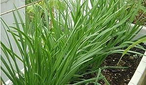 S-pone 200+ Garlic Chives Seeds Vegetable Seed Non-GMO Fresh Garden Heirloom