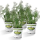 Bonnie Plants Fernleaf Dill (4 Pack) Live Plants