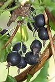 Johannisbeere, Jostabeere Jochina, Hoch-Stamm im 4 Liter Topf, Stammhöhe 90 cm