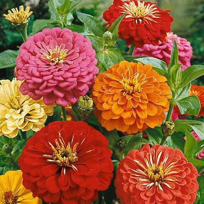 Creative Farmer Flower Seeds : Zinnia Mix Flower Seeds Garden...