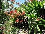 "Watsonia Latifolia "" Broad Leaf Watsonia "" x Fresh Seed"
