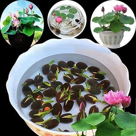 20Pcs Bowl Lotus Flower Seeds Water Lily Home Garden Plants Nymphaea Decor
