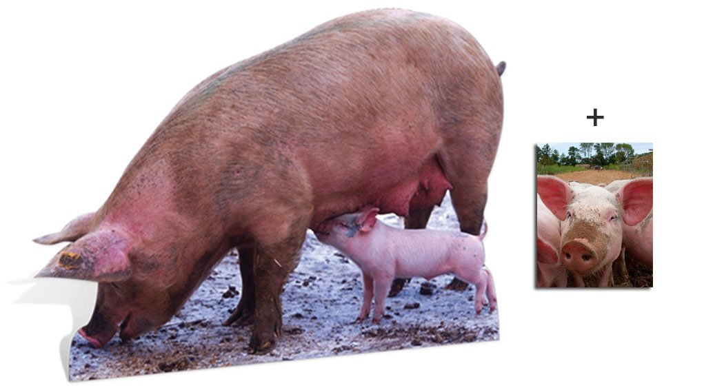 Pig and Piglet - Wildlife/Animal Lifesize Cardboard Cutout / Standee / Standup - Includes 8x10 (20x25cm) Star Photo