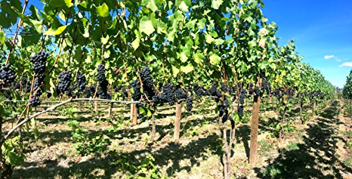 100% Pinot (50 lb Ultra Premium Oregon Pinot Noir - WineGrapesDirect - 100% All Natural & Not From Concentrate - Willamette Valley AVA - Frozen Grape Must for)