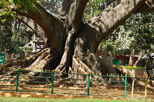 Garden Bangalore Ancient Tree 200 Years Old Poster Print 24 x 36 (Furniture Garden Bangalore)