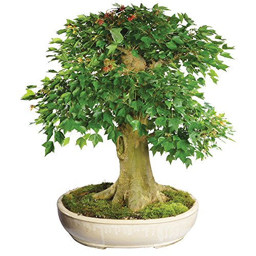 - Brussel's Live Trident Maple Specimen Outdoor Bonsai Tree - 45 Years Old; 28