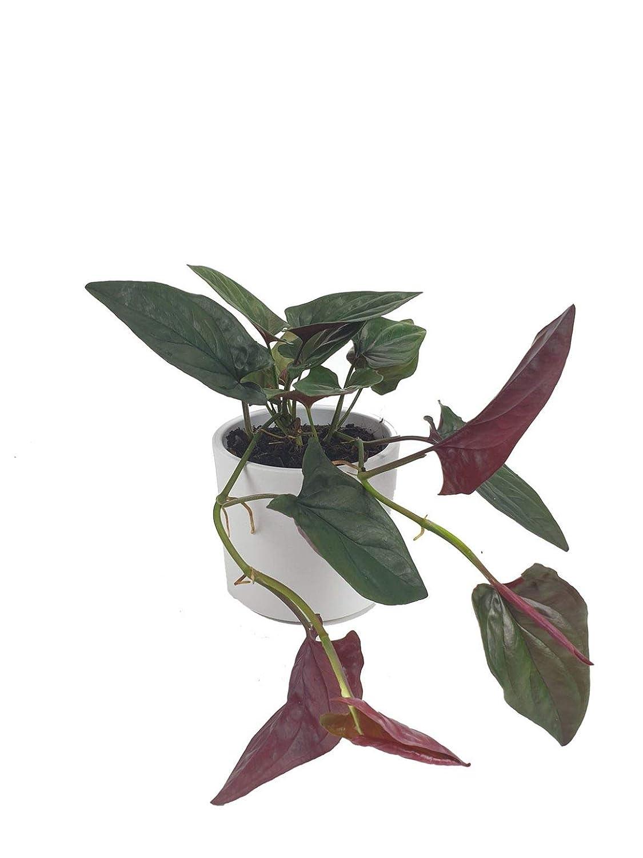 Syngonium Red Arrow