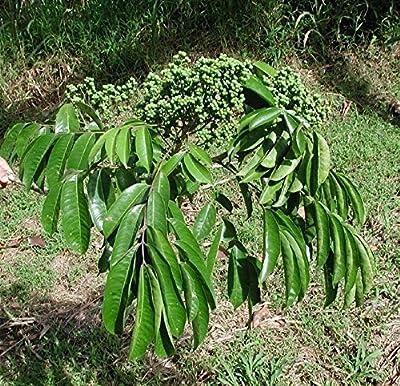 10 Seeds Zanthoxylum riedelianum Yellow Prickly Ash Tree