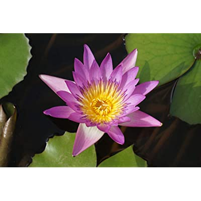 ING Wall Art Print on Canvas(32x21 inches)- Lotus Pond Aquatic Plants Plant Water Lilies: Home & Kitchen
