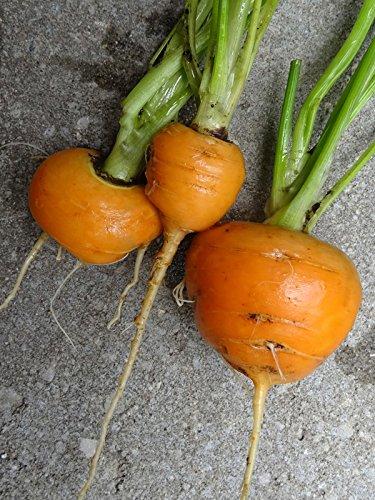 Frühe runde Karotte /'Pariser Markt/' Daucus carota 1000 Samen