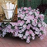 Hanging Basket Misty Lilac 150 Petunia Seeds Upc 650327337695 +1 Plant Marker