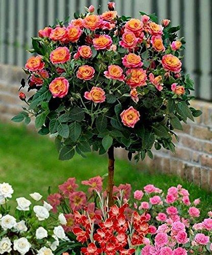 50 Orange Rose Tree Seeds , rare color, gorgeous, pleasant-smelling fragrant