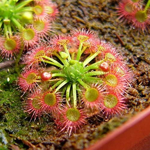 Soteer Garten - Selten Venusfliegenfalle Samen Fleischfressende Pflanzen Samen Dionaea muscipula Seeds Flytrap Seeds winterhart (20 Stück)