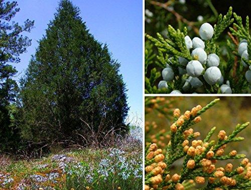 New Eastern Red cedar , Juniperus virginiana , 30 + Tree Seeds ( Hardy Fragrant Evergreen ) (Red Trunk Cedar Tree)
