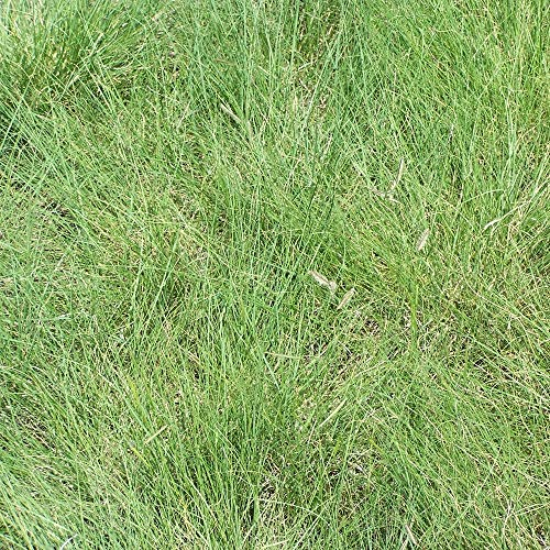 Outsidepride Blue Grama Native Grass Seed For Xeriscape Lawns & Pasture - 1 ()