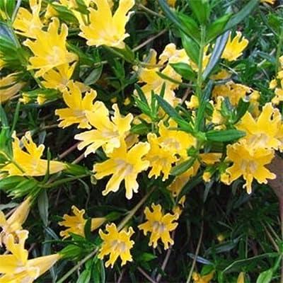 Mimulus- Monkey flower- Yellow- 100 Seeds - : Garden & Outdoor