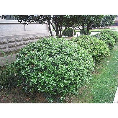 China Girl Holly Plant BGV05 : Garden & Outdoor