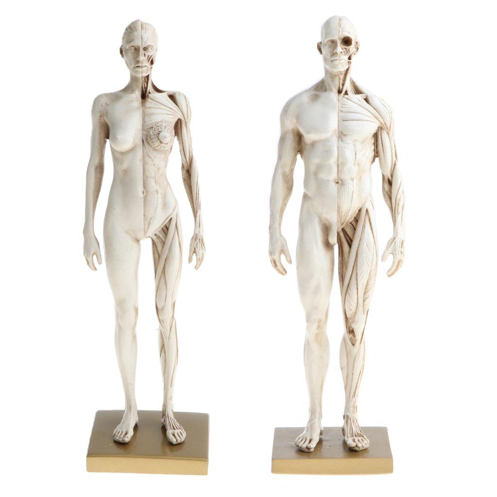 Dolity 11 Female Male Anatomy Figure Ecorche And Skin Anatomy