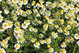2000 German Chamomile Seeds ~(Matricaria Recutita) Organic,Untreated .Non Gmo !