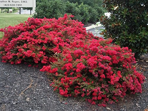 BATON ROUGE Patented Miniature Crape Myrtle, Pack of 5, Deep Red, Matures to 3'-4'( Shipped 1'-1.5' Tall, Well Rooted in Pot with Soil) by The Crape Myrtle Company (Image #4)