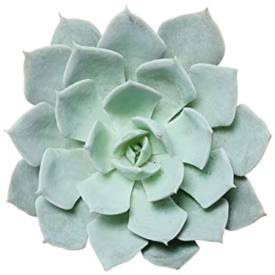 Echeveria Blue Fairy Blue Prince Succulent (2 inch) : Garden & Outdoor