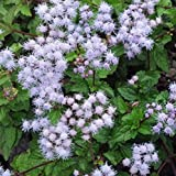 40 Seeds of Conoclinium coelestinum - Blue Mist Flower. Charming and showy blue/violet puff like flower clusters!