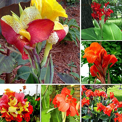 Hot Sale! Flower seeds Canna Lily Seeds - CLEOPATRA - Cannaceae - Great Potted Plant 10seeds of hope (Canna Lily Flowers)