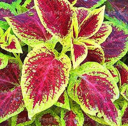 Seeds Bulbs 100pcs Janpanse Bonsai Coleus Foliage Plants Perfect Color Rainbow Dragon Seeds Dogschool At