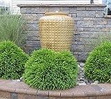 New Life Nursery & Garden Globosa Nana Dwarf Cryptomeria Live Plant, 3 gallon