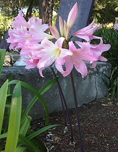 16 Amaryllis Belladonna - Pink Naked Ladies - Surprise Lily