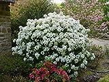 Mini Garden CHOISYA ARIZONICA 'Aztec Pearl'- Fragrant - Starter Plant