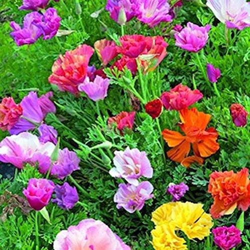Poppy Californis Mission Bells Nice Garden Flower By Seed Kingdom 1 000 Seeds