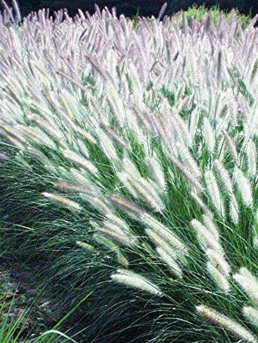 50 Bulb of Pennisetum Foxtrot - Fountain Grass by MULFI_AKBRRZ