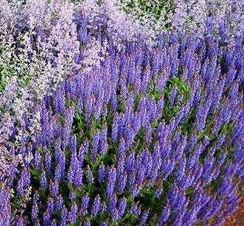 catmint seeds nepeta mussinii amazon co uk garden outdoors