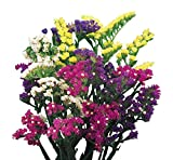 Burpee Mixed Bold Colors Statice Seeds 100 seeds