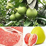 dds5391 20Pcs Red Pomelo Citrus Maxima Grapefruit, Jabong Shaddock Fruit Tree Plant Seeds