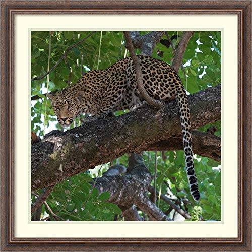Framed Wall Art Print Leopard in a Tree by Scott Bennion 26.50 x 26.50