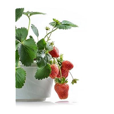 Strawberry Rainbow treasure F1 - seeds : Garden & Outdoor