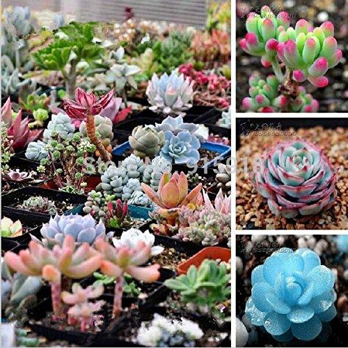 200 Pcs seeds Flower pots planters Mix Succulent seeds lotus Lithops Pseudotruncatella Bonsai plants Seeds for home & garden - Lotus Garden Rug